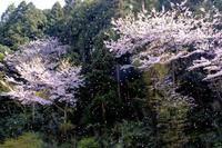 春風に舞う桜吹雪