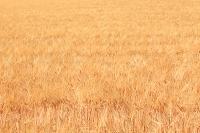 北海道 大麦 麦穂