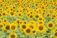 兵庫県 日野市 ひまわりの丘公園ひまわり畑