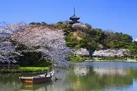 神奈川県 三渓園の桜