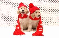 ゴールデンレトリーバー マフラーをしている2匹の仔犬