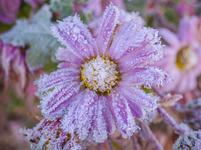 霜に覆われる花