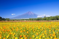 山梨県 花の都公園 富士山とキバナコスモス