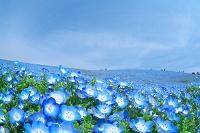茨城県 ひたちなか市 ネモフィラの花畑
