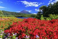 山梨県 西湖より夏花咲く富士山 ベゴニア マリーゴールド