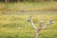 ボツワナ モレミ野生動物保護区 ヒメヤマセミ