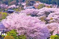 滋賀県 桜咲く春の三井寺