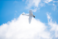 北海道 オオハクチョウの飛躍