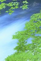 青森県 黒石市 カエデの若葉と中野川