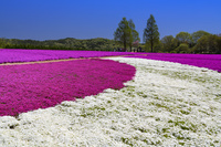 広島県 シバザクラ咲く花夢の里