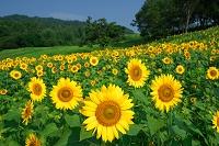 福島県 夏のヒマワリの花畑