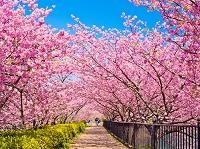 静岡県 河津桜と菜の花