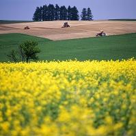 北海道 美瑛町 菜の花と春の農作業