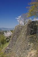 大分県 岡城跡の石垣と桜