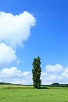 北海道 一本の木 ポプラ
