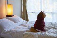 旅館のベッドの上に座る豆柴