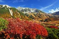 富山県 立山黒部アルペンルート ナナカマド 雷鳥沢