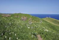 北海道 桃岩展望台コースに咲くイブキトラノオ