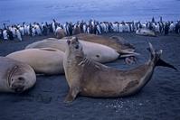 南極海 クロゼ諸島 ポゼッシオン島 ミナミゾウアザラシとオウ...