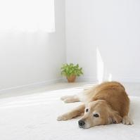 床に伏せるゴールデンレトリバー 犬
