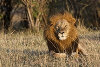 ケニア マサイマラ国立保護区 ライオン