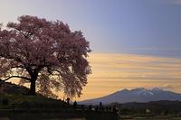 山梨県 夕暮れのわに塚の桜と甲斐駒ヶ岳