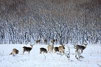 雪原に群れるエゾシカ