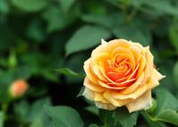 緑葉を背にした黄色い薔薇