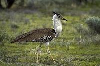ナミビア エトーシャ国立公園 アフリカオオノガン