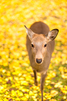 奈良県 奈良公園 鹿
