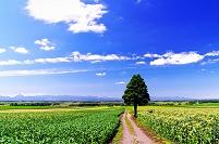 北海道 トウモロコシ畑の道と一本の木