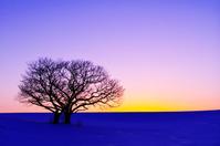 北海道 残照の夕空と雪の丘の双子の木