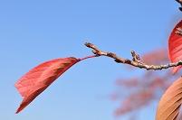 サクラ 枝先 葉 紅葉 冬芽