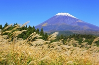 静岡県 越前岳登山道 富士山とススキの草原