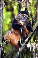 ルワンダ 火山国立公園 ゴールデンモンキー