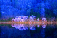 長野県 大町市 中綱湖 夜明け前の桜