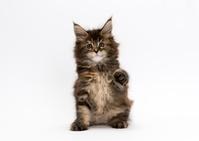 メインクーン 子猫