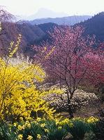 春爛漫の公園と妙義山