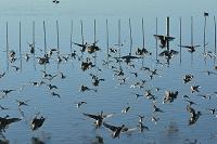千葉県 谷津干潟 カモとシギの群れ