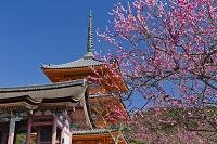 京都府 京都市 紅梅 清水寺