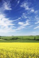 北海道 キガラシの花咲く美瑛の丘
