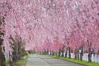 福島県 日中線記念自転車歩行者道のしだれ桜