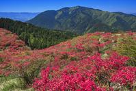奈良県 ツツジ咲く葛城高原より金剛山