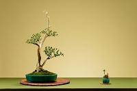 盆栽 さつき 八咫の鏡 創作盆栽
