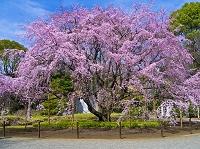 東京都 六義園 しだれ桜