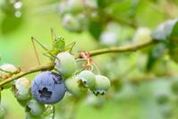 ブルーベリーにとまるキリギリスの幼虫