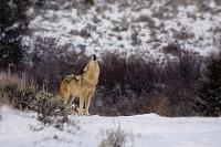アメリカ合衆国 イエローストーン国立公園 灰色狼