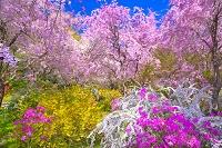 シダレザクラの原谷苑