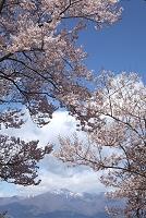 長野県 高遠の高遠小彼岸桜