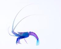 イセエビ 透明骨格標本